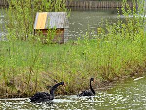 Лебедей с Быкова болота оставят зимовать в Зеленограде