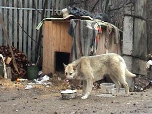 В Алабушево собаки загрызли бешеную лису