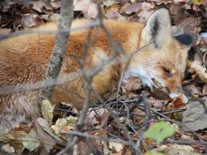 На улице Летчика Полагушина обнаружен труп дикой лисы