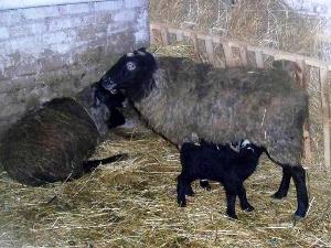В колонии-поселении открыли овчарню
