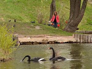 Собаки покалечили лебедя на Быковом болоте