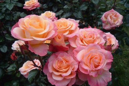 Большой выбор роз-саженцев предлагает магазин «Дом и Сад» в корпусе 847