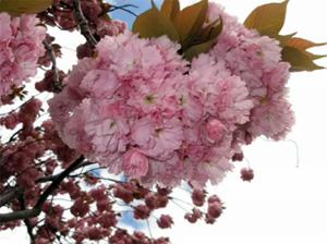 Зеленоградцев приглашают на концерт в честь цветения сакуры