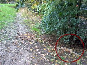 У «Перекрестка» в 1-м микрорайоне нашли труп бешеной лисы