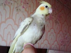 Попугай заразил хозяйку орнитозом