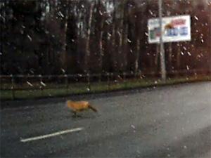 На Панфиловский проспект выбежала лиса