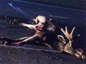 На Кутузовском шоссе автомобиль сбил лося