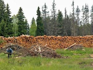 В 2015 году в Зеленограде спилят 4,5 тысячи сухих деревьев