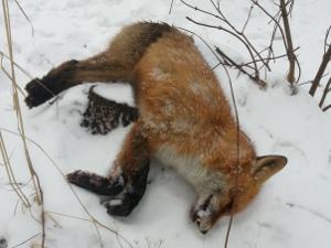 В лесу у Сосновой аллеи найдена мертвая лиса
