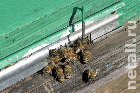 Из-за болезни пчел на зеленоградской пасеке второй год сохраняется карантин