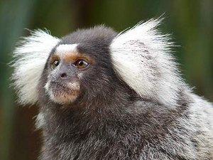 В ДК «Зеленоград» пройдут гастроли обезьян