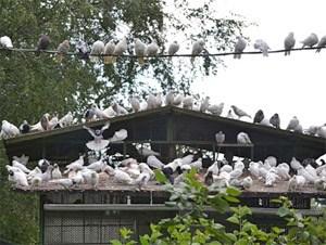 Хозяевам голубятен пригрозили выселением