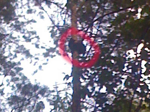 Кошка вторые сутки не может слезть с дерева в лесу