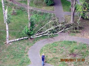 В парке 1-го микрорайона рухнула береза