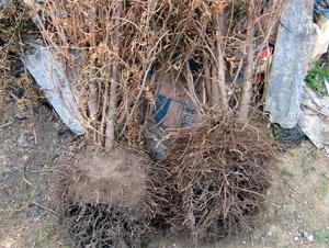 Вдова украла дерево для могилы мужа