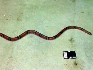 Нашелся владелец пойманной змеи в корпусе 1407