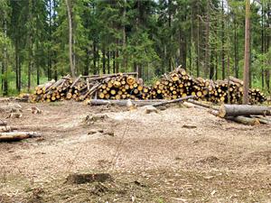 За два года в лесах посадят более 8 тысяч деревьев