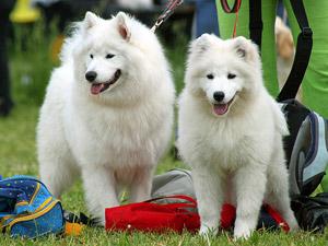 Большая выставка собак